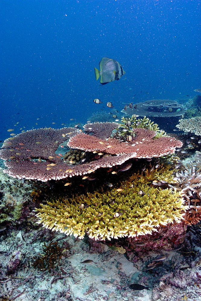 Stony Corals (Acropora sp).  Malaysia   (RR) - 973-41