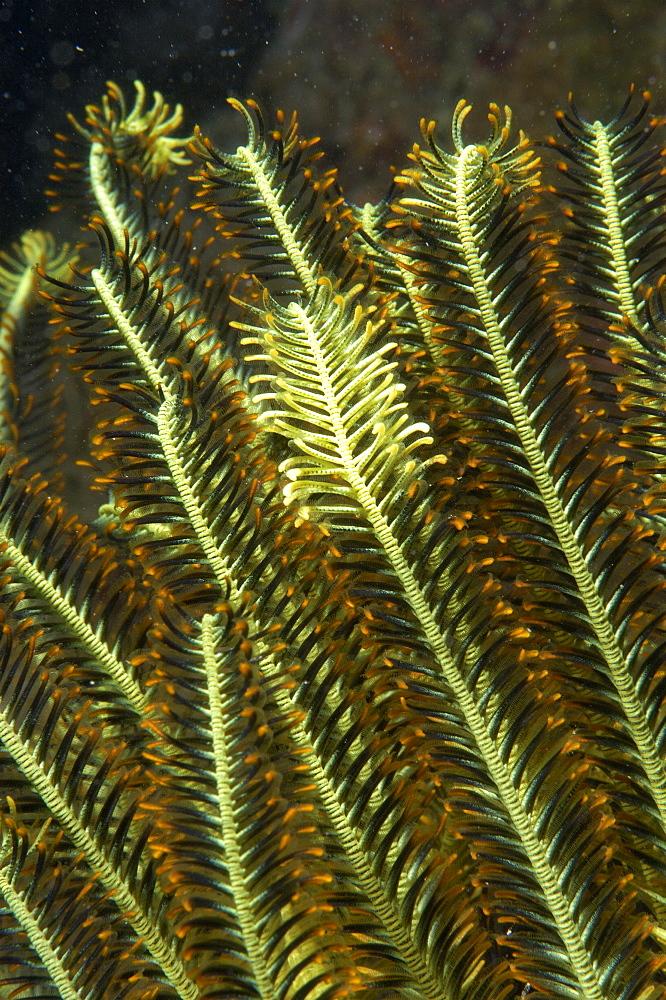 Crinoid (Chromatolida sp).  Borneo, Malaysia   (RR)