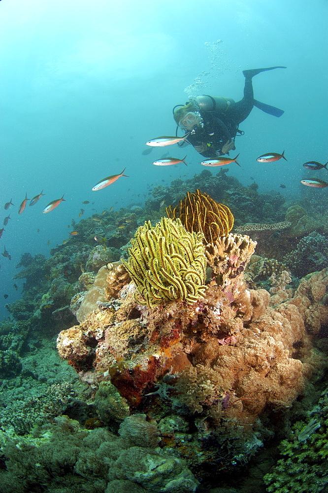 Diver and Crinoid sp. (Chromatolida sp).  , Malaysia   (RR) - 973-67