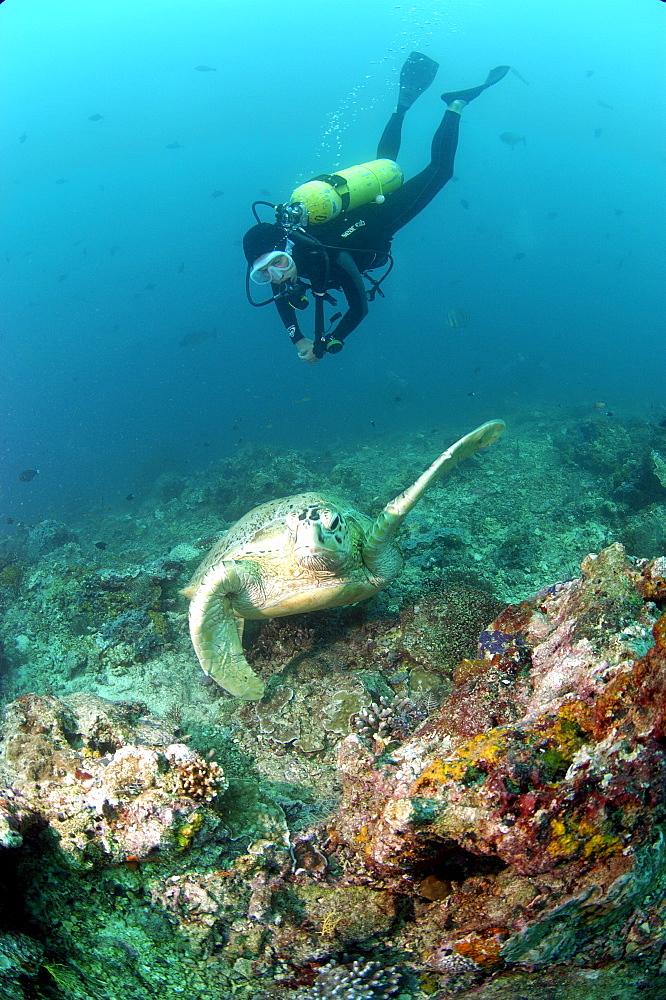 Diver and Green Turtle (Chelonia mydas).  Borneo, Malaysia   (RR) - 973-72