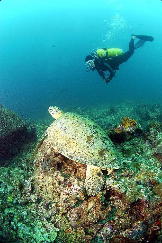 Diver and Green Turtle (Chelonia mydas).  Borneo, Malaysia   (RR) - 973-73