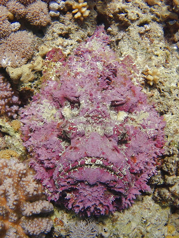Stonefish (Synanceia verrucosa). Jackson Reef, Sharm El Sheikh, South Sinai, Red Sea, Egypt.