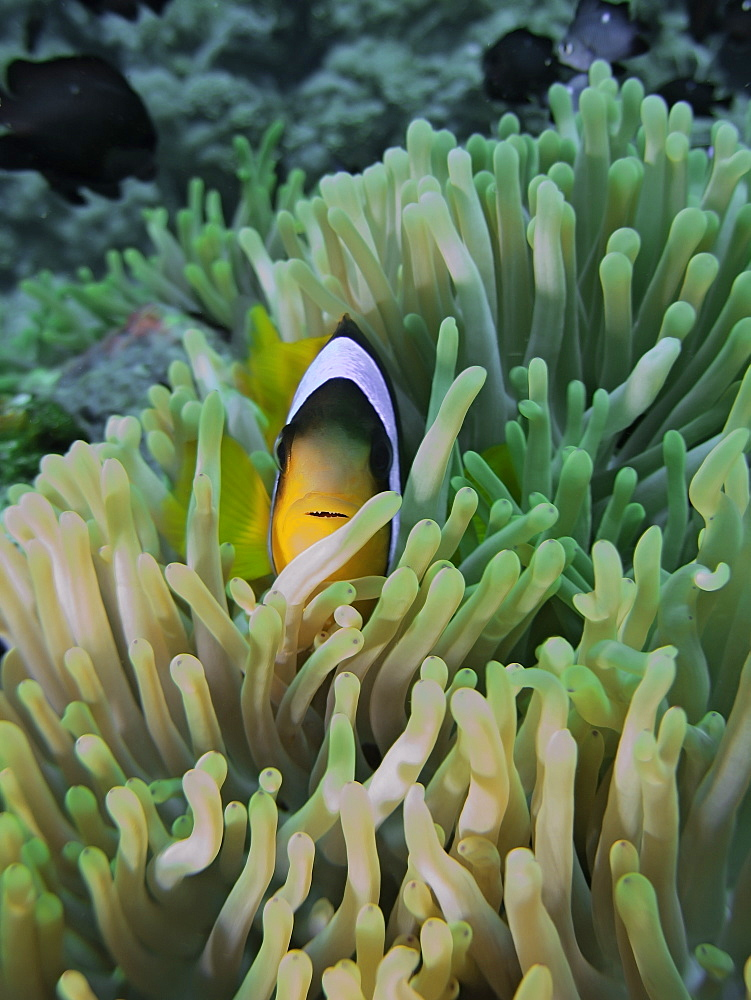 Red Sea anemonefish (Amphiprion bicinctus) in a Magnificent anemone (Heteractis magnifica). Anemone City, Sharm El Sheikh, South Sinai, Red Sea, Egypt.