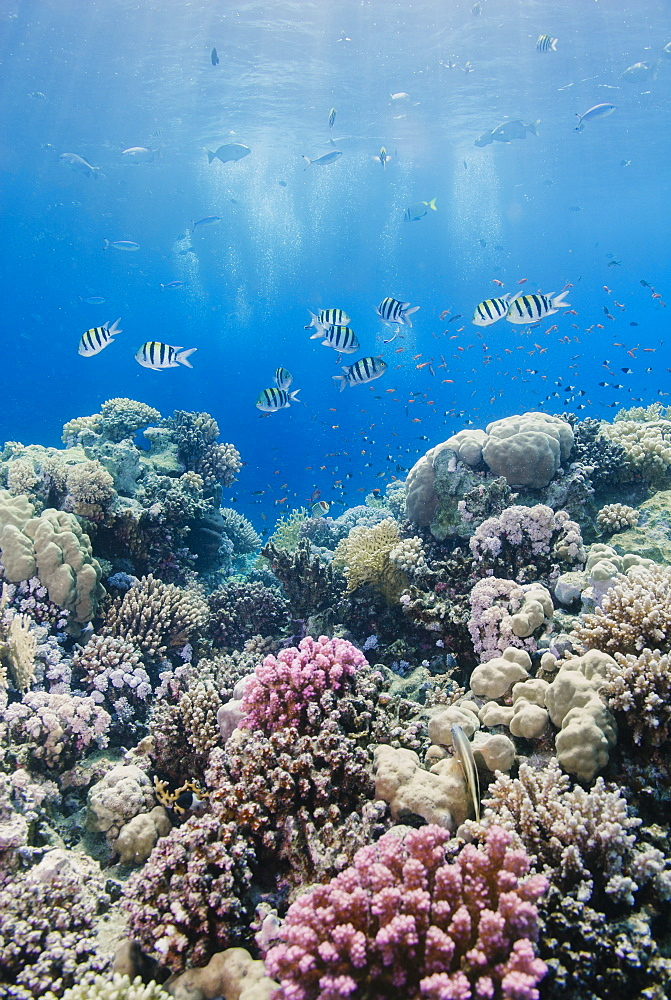 Hard coral and tropical reef scene, Ras Mohammed National Park, off Sharm el Sheikh, Sinai, Egypt, Red Sea, North Africa, Africa