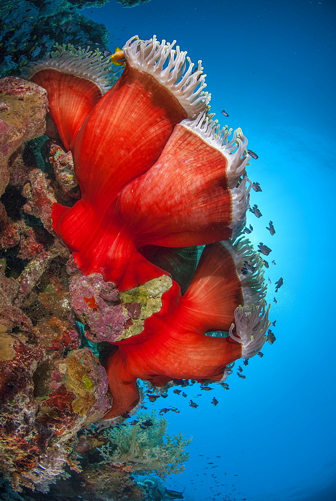Magnificent anemone (Heteractis magnifica), Ras Mohammed National Park, off Sharm el Sheikh, Sinai, Egypt, Red Sea, Egypt, North Africa, Africa