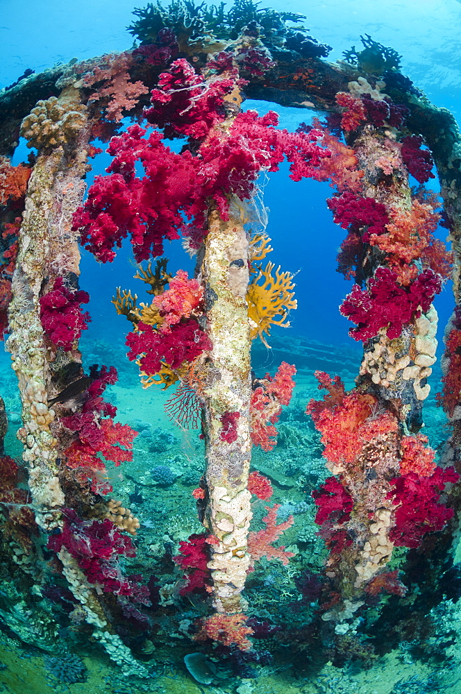 Pink, purple, soft coral growing on a sunken cargo container, Ras Mohammed National Park, Red Sea, Egypt, North Africa, Africa
