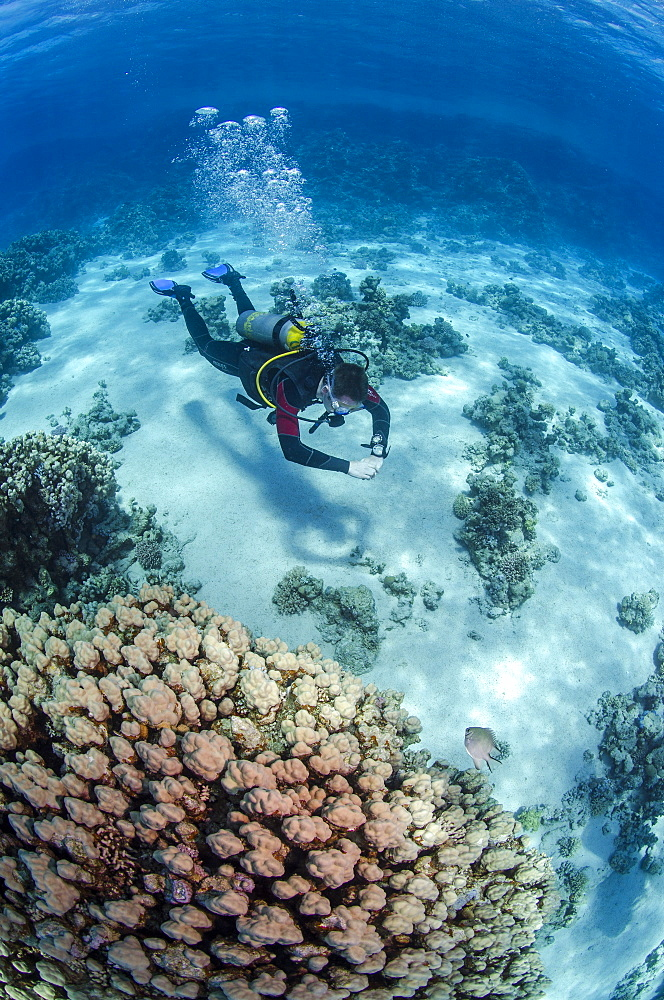 High angle view of a scuba diver diving in shallow water close to coral reef, Ras Mohammed National Park, Red Sea, Egypt, North Africa, Africa - 974-304