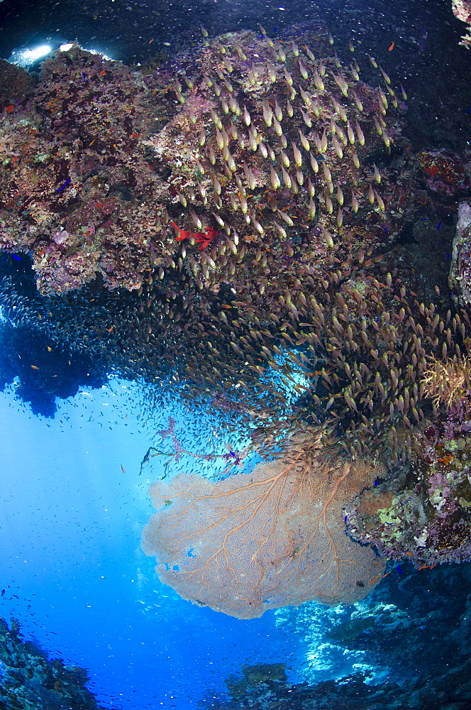Coral reef scene, Ras Mohammed National Park, Sharm el-Sheikh, Red Sea, Egypt, North Africa, Africa  - 974-309