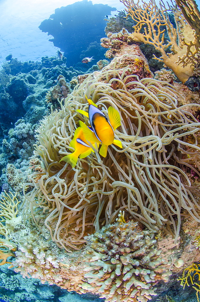 Red sea anemone fish (amphiprion bicinctus) and Stichodactyla haddoni, Ras Mohammed National Park, Red Sea, Egypt, North Africa, Africa