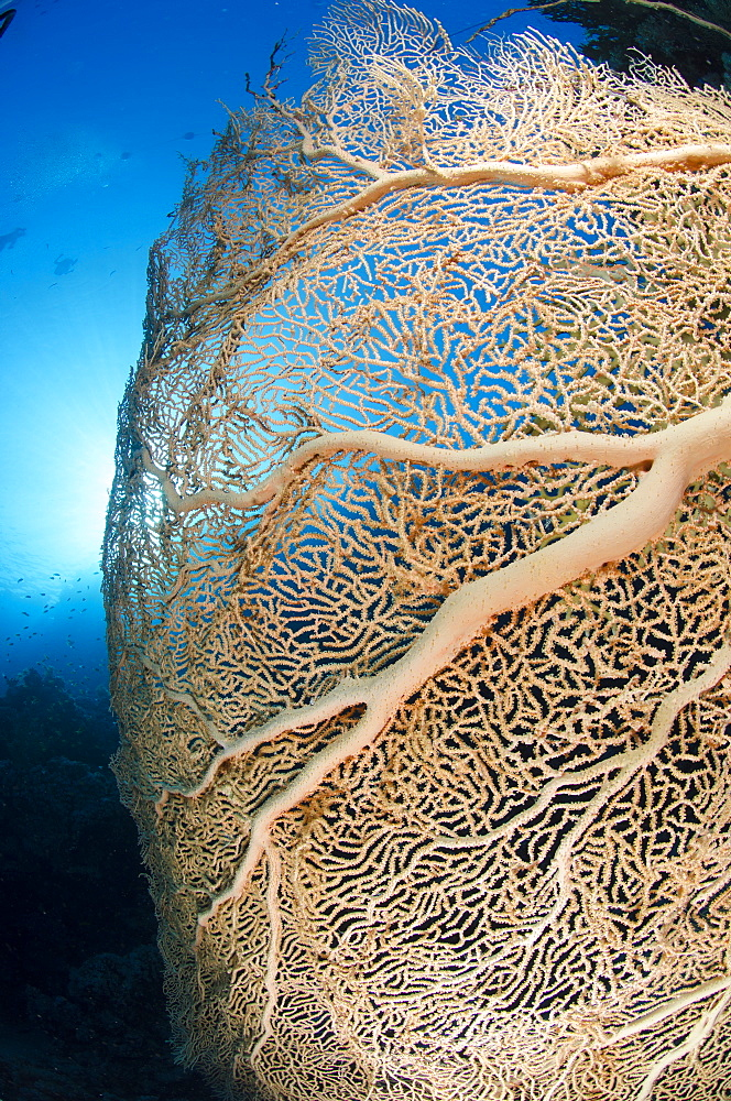 Giant sea fan (Gorgonian fan coral) (Annella mollis), Ras Mohammed National Park, Red Sea, Egypt, North Africa, Africa  - 974-320
