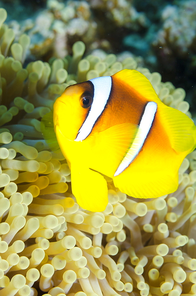 Red sea anemone fish (Amphiprion bicinctus) and magnificent anemone, (Heteractis magnifica), Ras Mohammed National Park, off Sharm el-Sheikh, Sinai, Red Sea, Egypt, North Africa, Africa  - 974-334