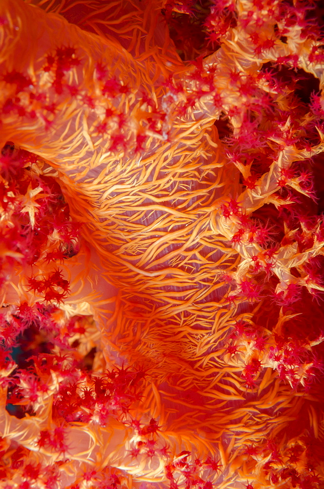 Macro shot of stem and branches of orange soft broccoli coral (Dendronephthya hemprichi), Ras Mohammed National Park, off Sharm el-Sheikh, Sinai, Red Sea, Egypt, North Africa, Africa  - 974-346