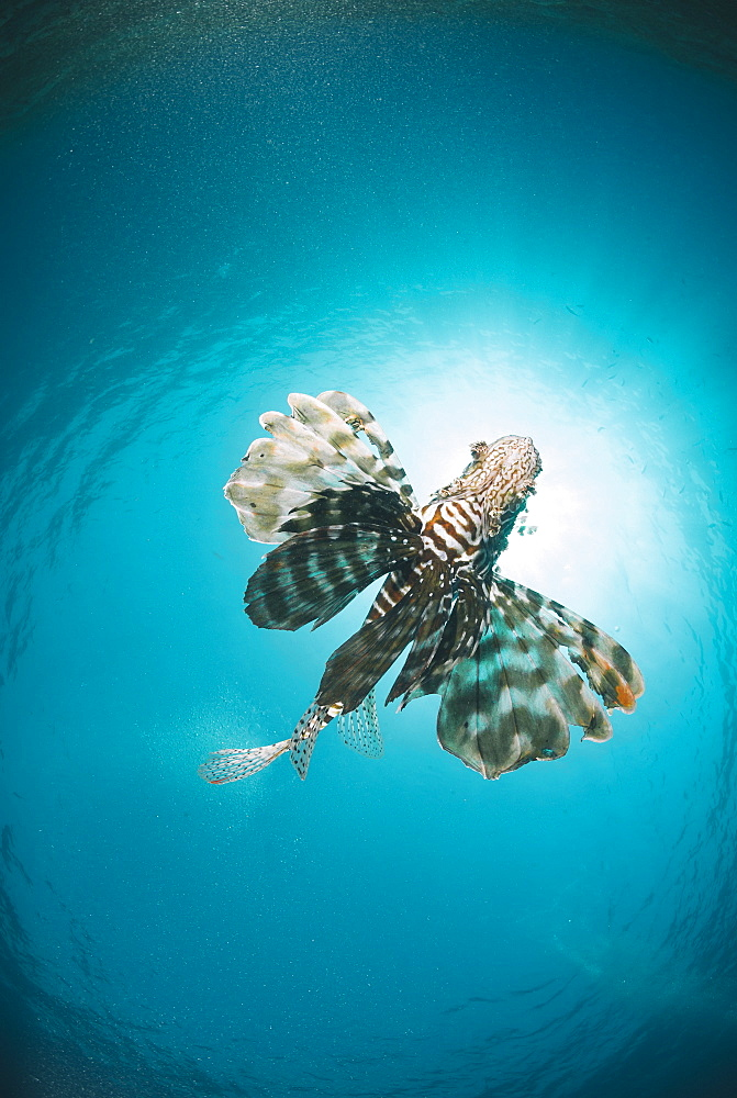 Common lionfish (Pterois miles) from below, back-lit by the sun, Naama Bay, Sharm El Sheikh, Red Sea, Egypt, North Africa, Africa - 974-409