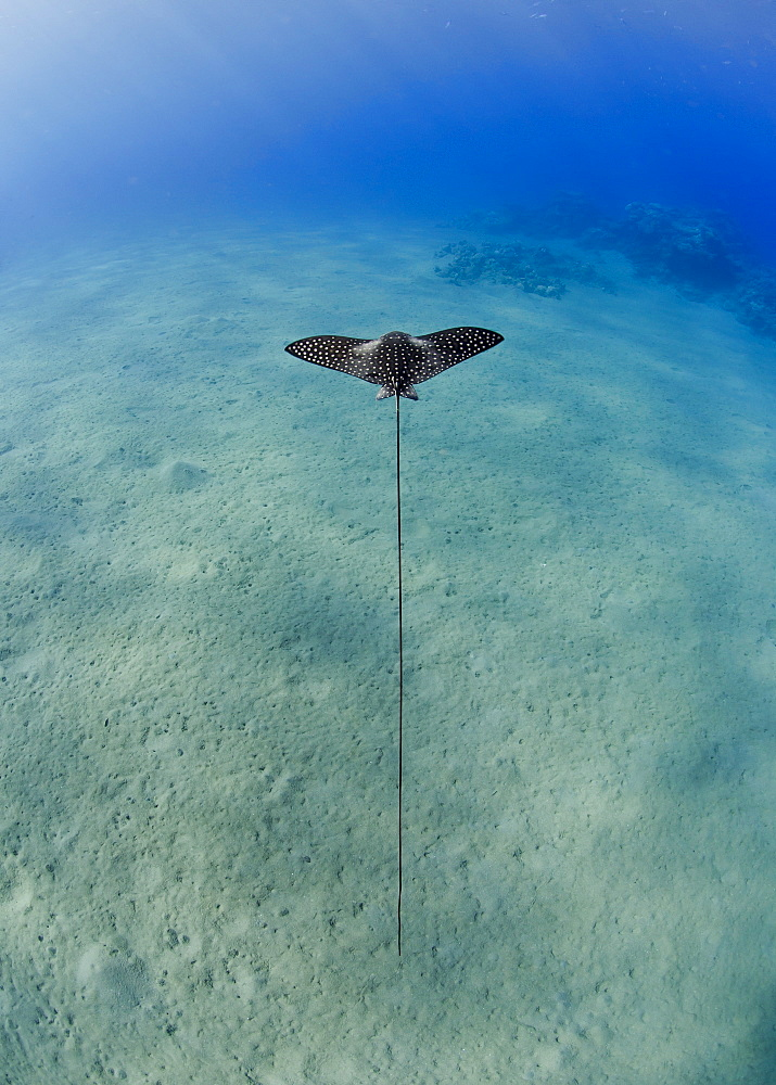 Spotted eagle ray (Aetobatis narinari) juvenile over sandy ocean floor, from above, Naama Bay, Sharm El Sheikh, Red Sea, Egypt, North Africa, Africa - 974-416