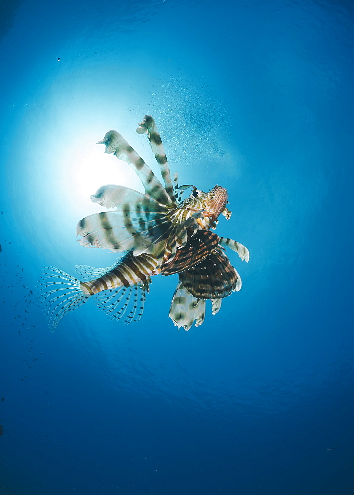 Common lionfish (Pterois miles) from below, back-lit by the sun, Naama Bay, Sharm El Sheikh, Red Sea, Egypt, North Africa, Africa - 974-419