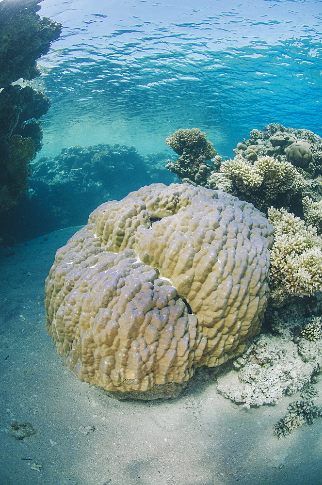 Mountain coral (porites lutea), Ras Mohammed National Park, Sharm El Sheikh, Red Sea, Egypt, North Africa, Africa - 974-427