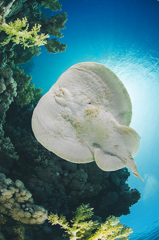 Leopard torpedo ray (Electric ray) (Torpedo panthera), underside view, back-lit by the sun, Ras Mohammed National Park, Sharm El Sheikh, Red Sea, Egypt, North Africa, Africa - 974-432