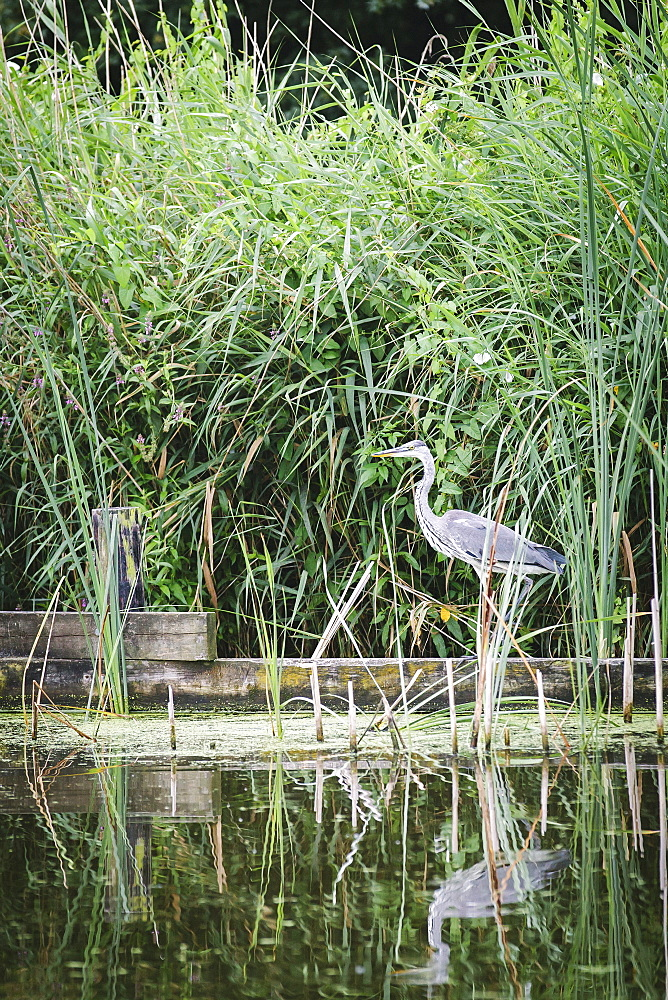Grey heron (Ardea cinerea) by waters edge, Rotter-meren, Rotterdam, The Netherlands (Holland), Europe - 974-435
