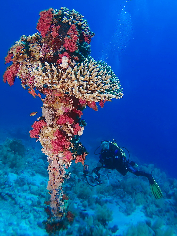 Diver next to a coral encusted anchor. Anemone City, Sharm El Sheikh, South Sinai, Red Sea, Egypt.