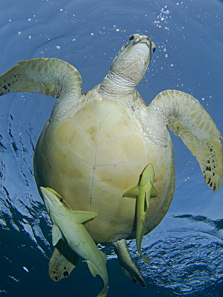 Large Green Turtle (Chelonia mydas) grazing on the seagrass beds of Marsa Abu Dabab. These pristine seagrass beds attract herds of grazing green turtles. Marsa Abu Dabab, Marsa Alaam, Red Sea, Egypt.