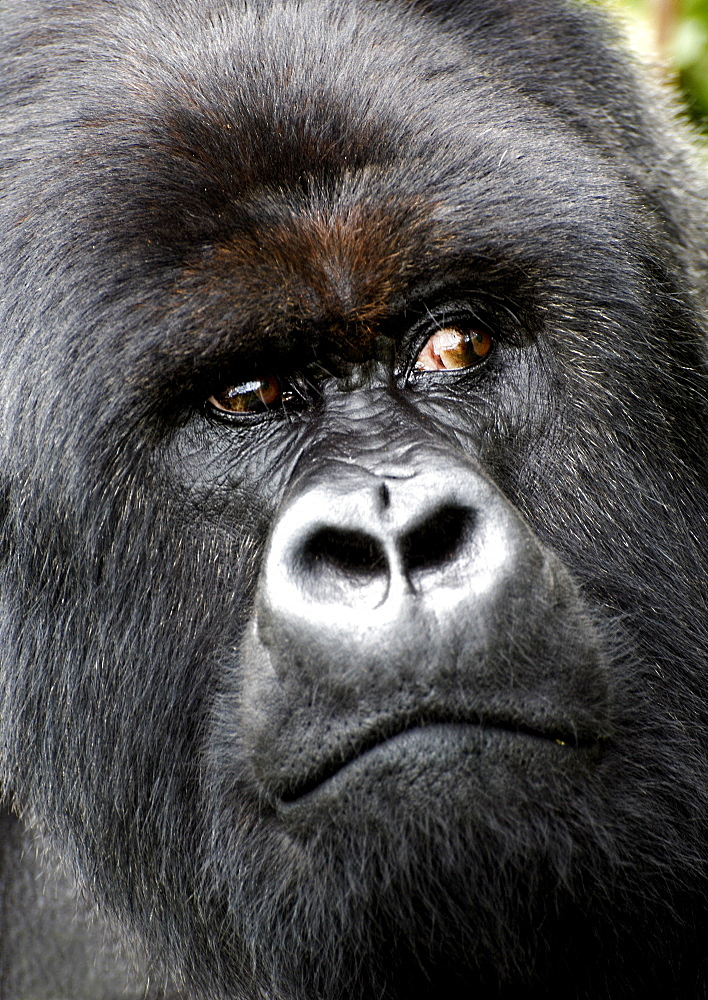 Tight headshot of a Mountain Silverback Gorilla, distracted by something in the forrests of the Volcanoes National park, Rwanda. Volcanoes National Park, Virunga mountains, Rwanda, East Africa