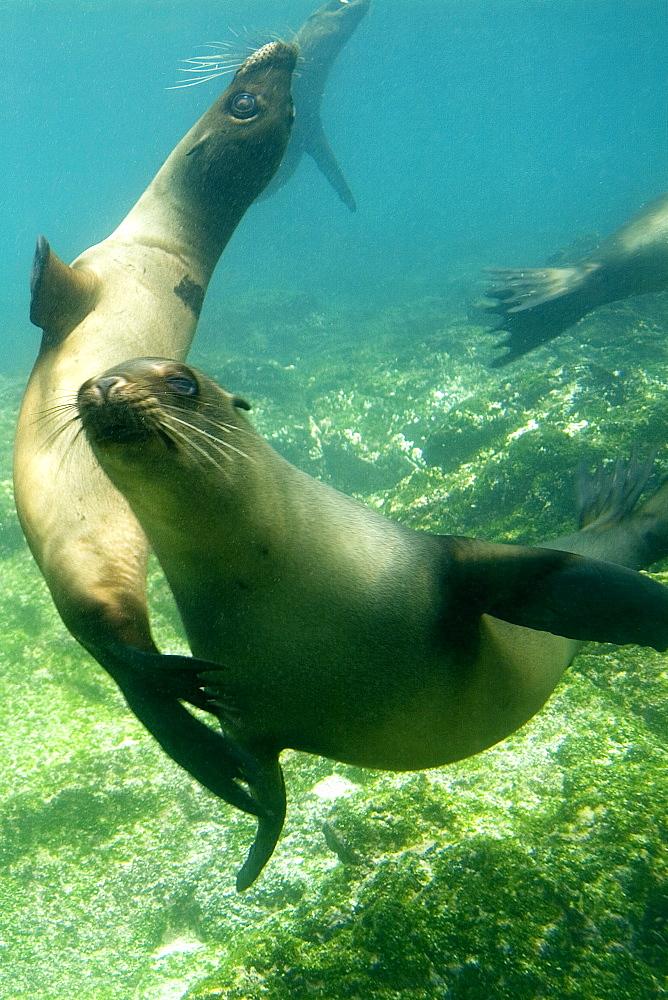 Galapagos sea lion - Zalophus californianus wollebacki.  Galapagos, Pacific Ocean   (RR) - 978-11