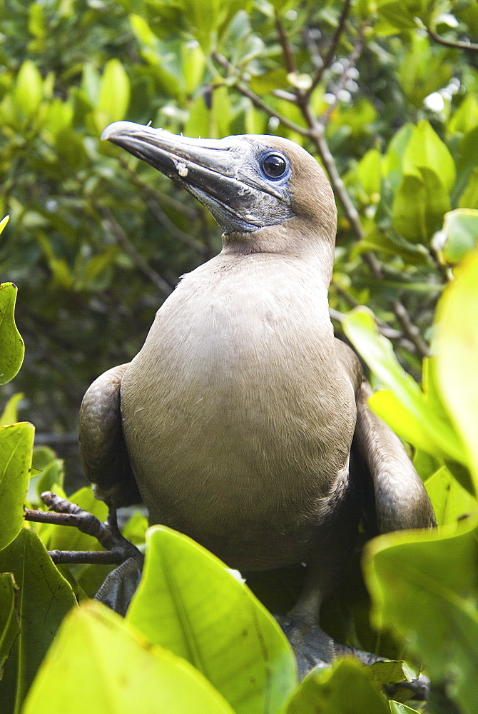 Red-footed booby (Sula sula). Galapagos.   (rr)  - 978-204