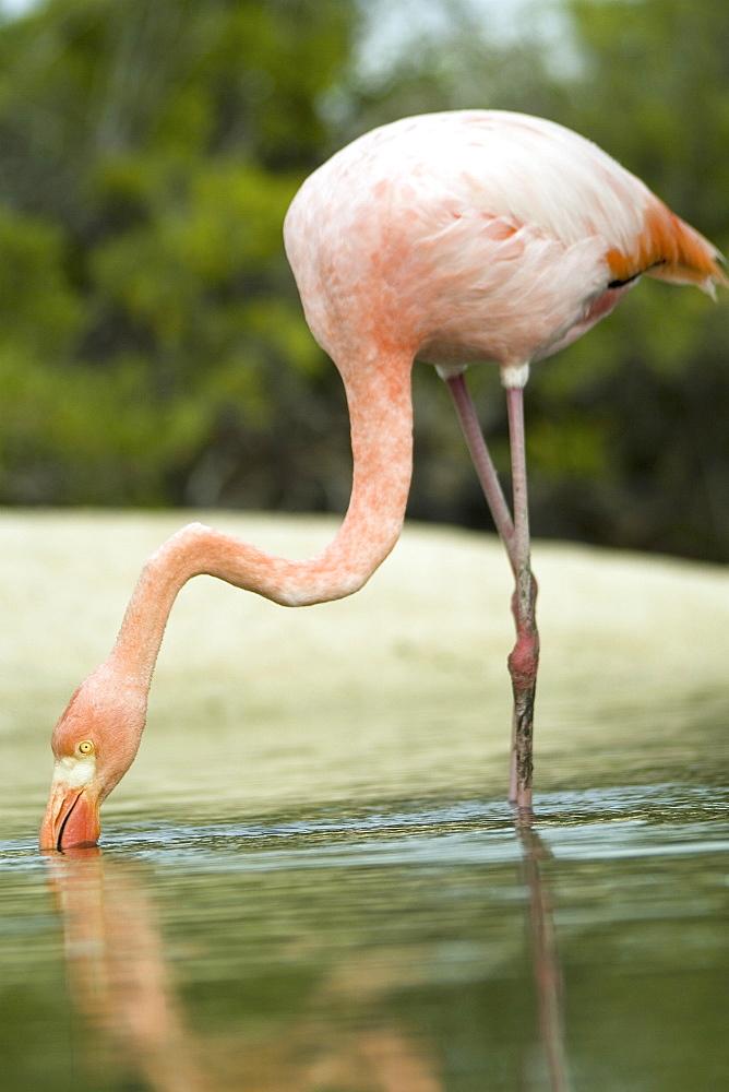 Galapagos Flamingo (Phoenicopterus ruber). Galapagos.   (rr)