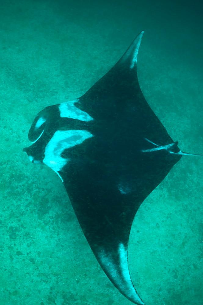 Pelagic Manta Birostris or Giant Manta Ray. Ecuador.