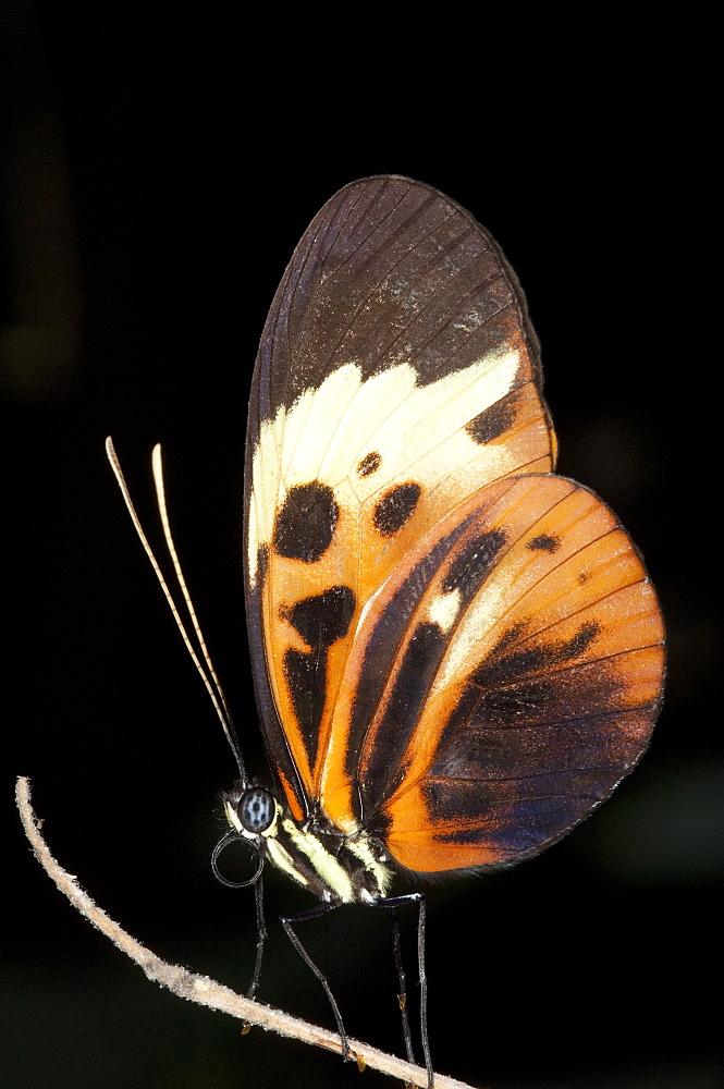 Butterfly, Mindo, Ecuador,