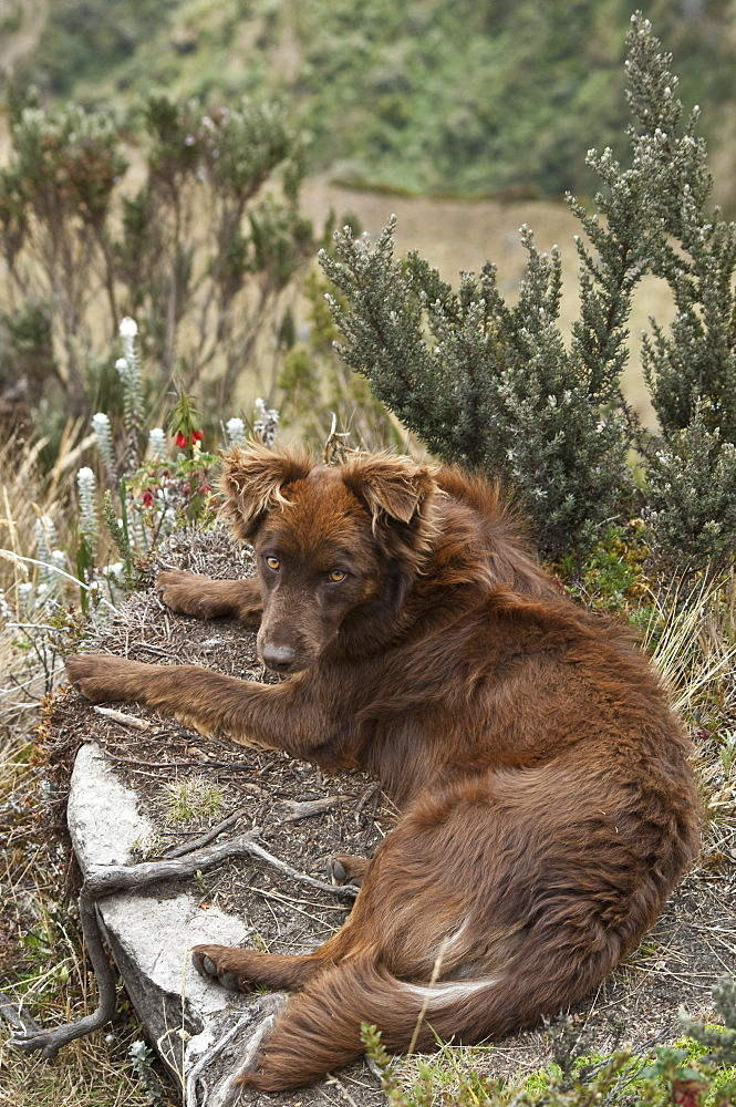 Mountain Dog, Andes, Ecuador. - 978-366