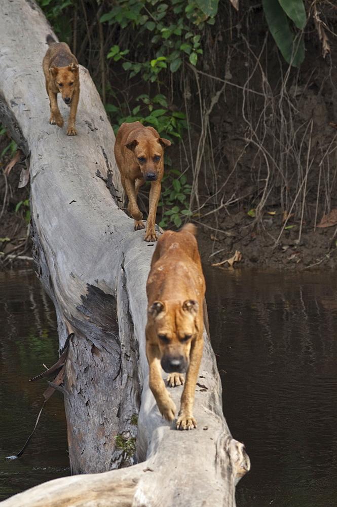 Dogs crossing river, Ecuador.