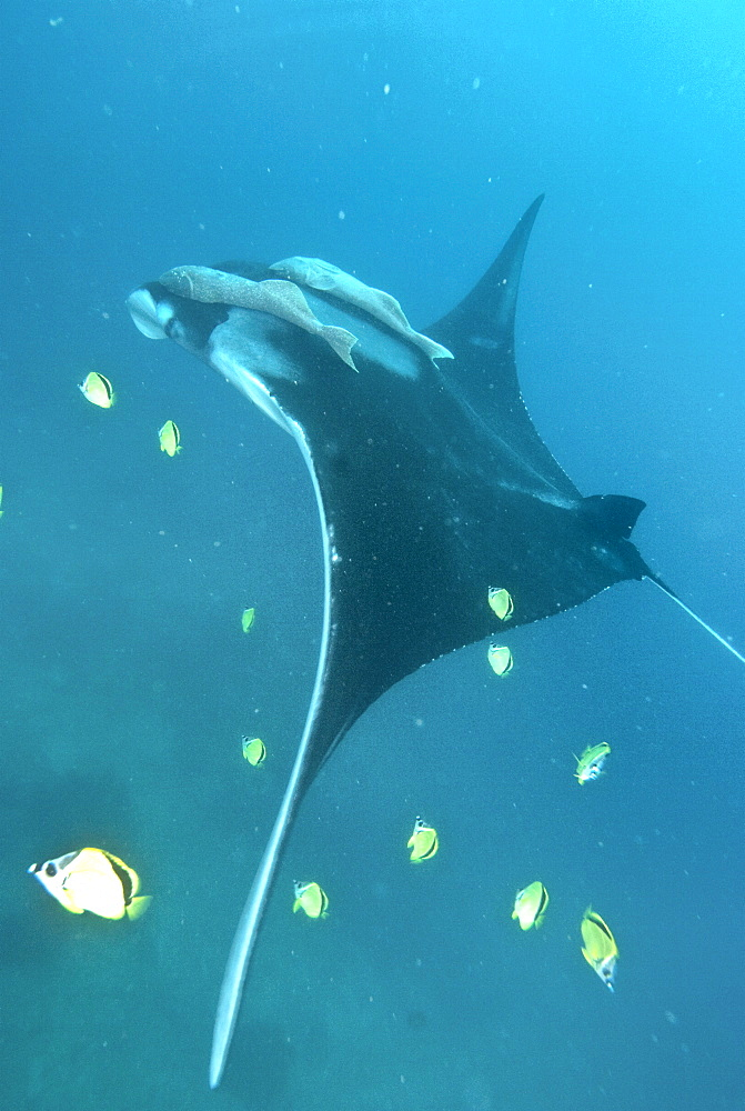 Giant Manta at Cleaning station being cleaned by butterfly fish. Pacific Ocean, Ecuador
