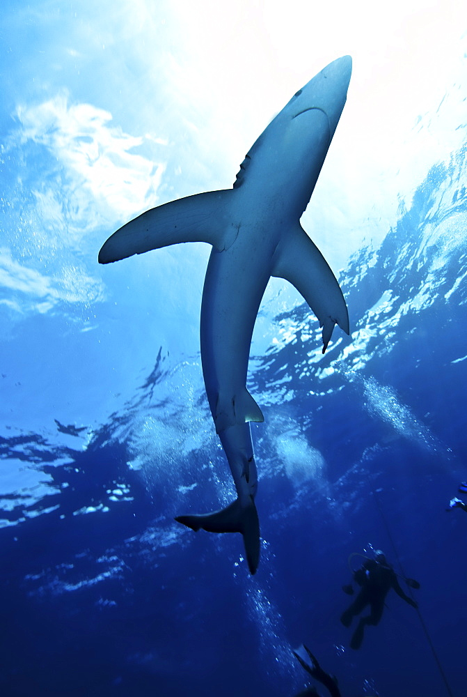 Blue shark (Prionace glauca) in the Azores, Portugal, Atlantic, Europe - 978-454
