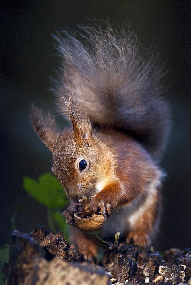 Red squirrel (Sciurus vulgaris) eating nuts in a wood, United Kingdom, Europe - 978-460