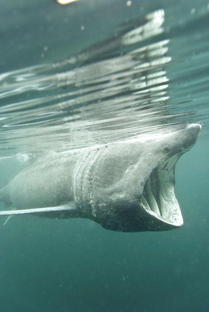Basking shark (Cetorhinus maximus) feeding on plankton, Hebrides, Scotland, United Kingdom, Europe