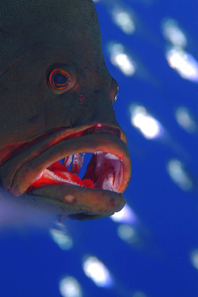 Redmouth Grouper (Aethaloperca rogaa) Showing its namesake bright red inside mouth. Can often be found living amongst colonies of Yellow Sweeper (Parapriacanthus ransonneti)  which it vigorously protects from attack by passing jacks, in return for feeding from the same glassfish colony. Red Sea.