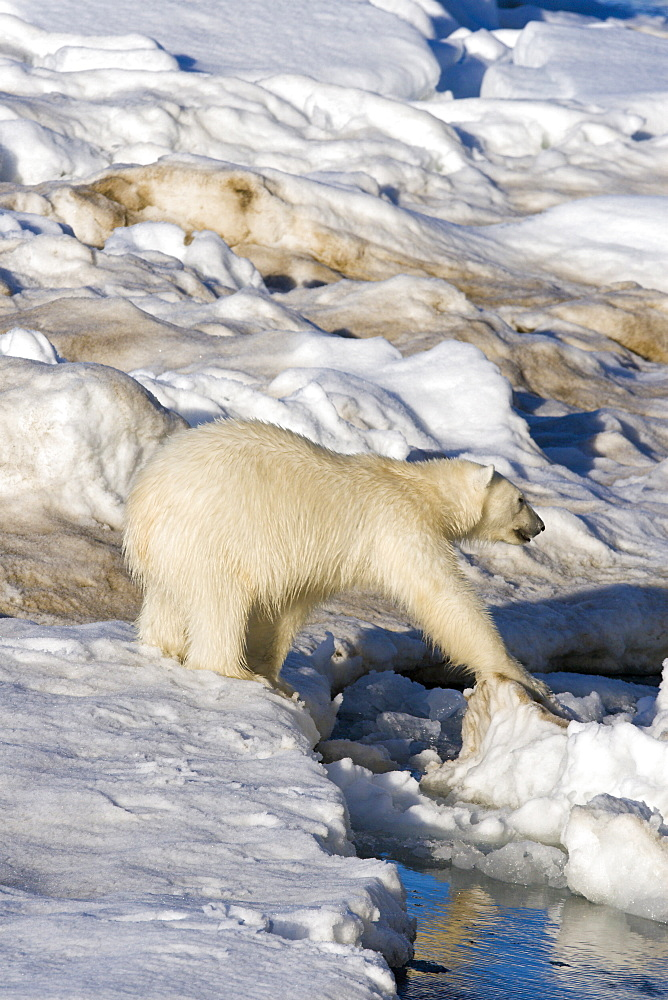 Polar bear (Ursus maritimus) on multi-year ice floes in the Barents Sea off the eastern coast of EdgeØya (Edge Island) in the Svalbard Archipelago, Norway.