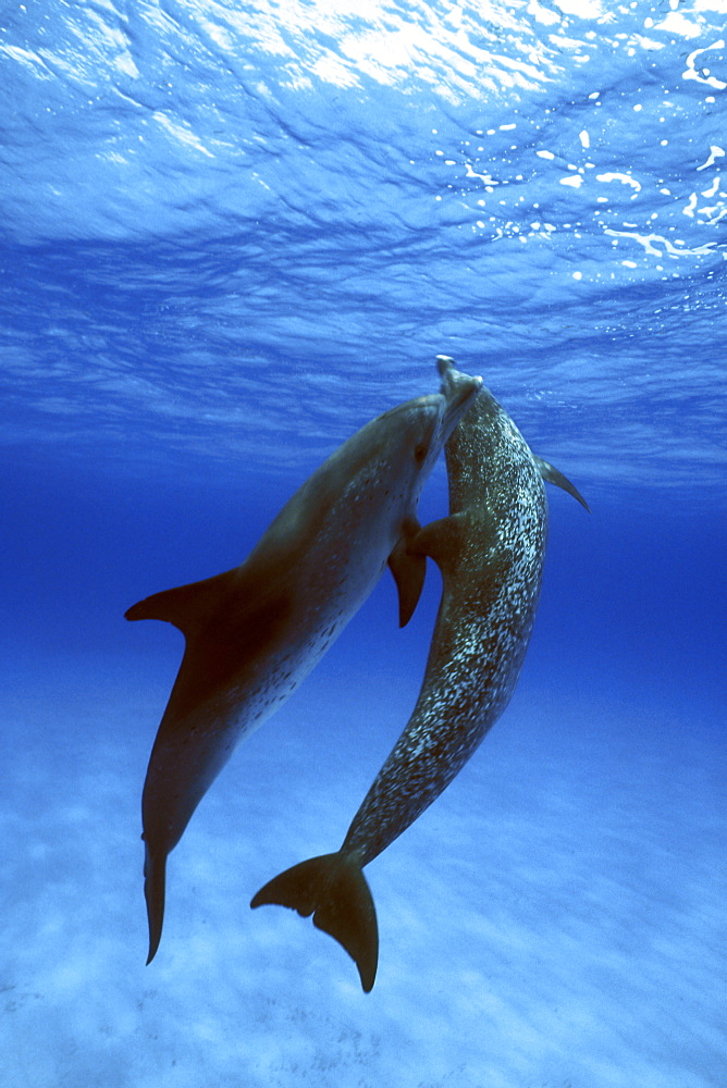 Atlantic Spotted Dolphin pair(Stenella frontalis) underwater on the Little Bahama Banks, Grand Bahama Island, Bahamas.