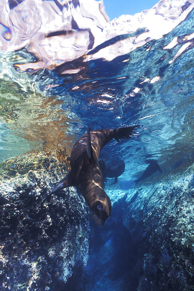 California Sea Lion (Zalophus californianus) pup playing in the crystal-clear reflected waters of Los Islotes in the Gulf of California (Sea of Cortez), Mexico.