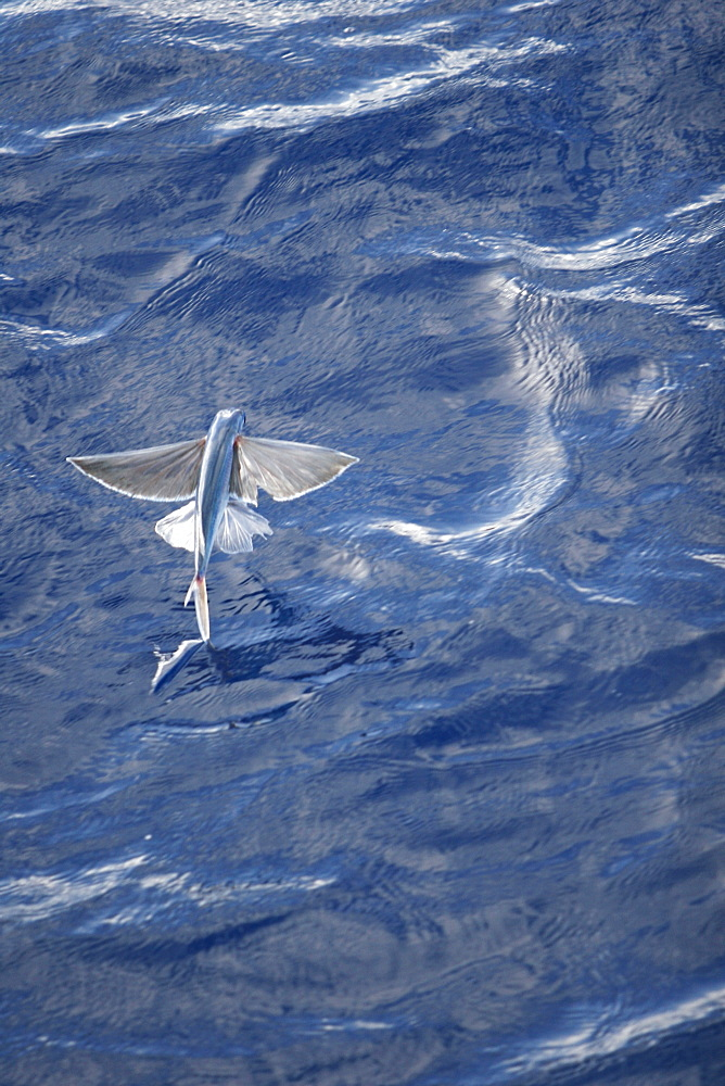 Atlantic flying fish (Cypselurus melanurus) fleeing the bow and taking flight for safety near Ascension Island in the Atlantic Ocean.