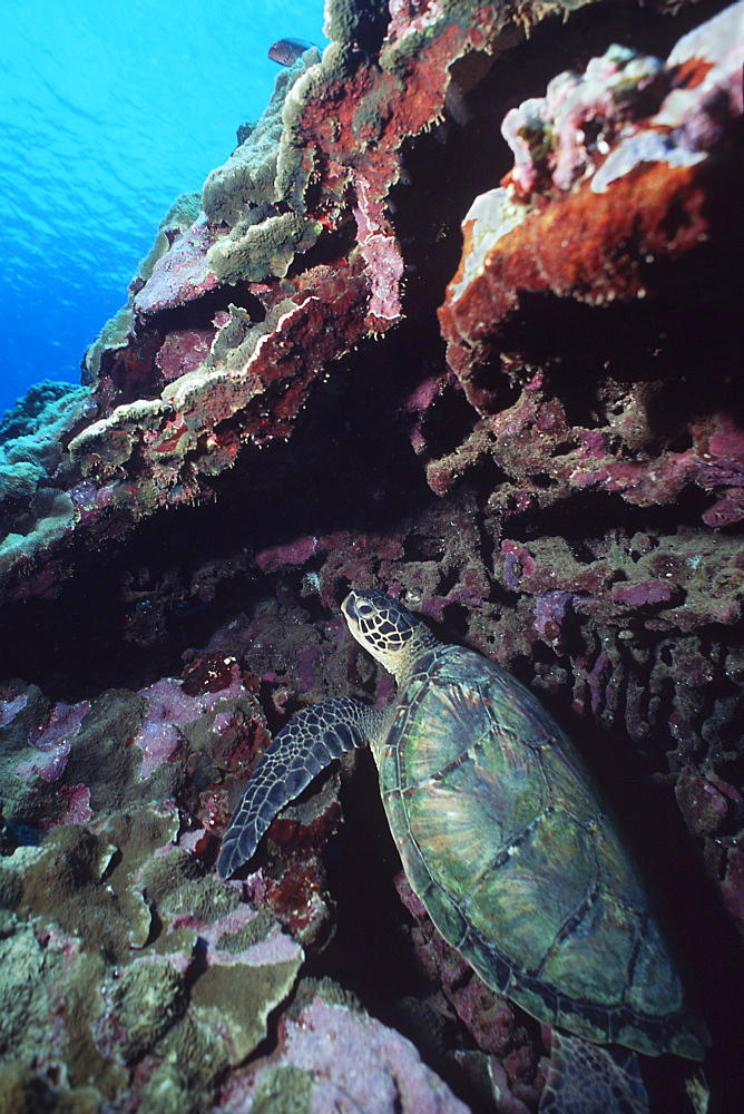 Pacific Green Sea Turtle (Chelonia mydas) resting against coral head off Kapalua, Maui, Hawaii.