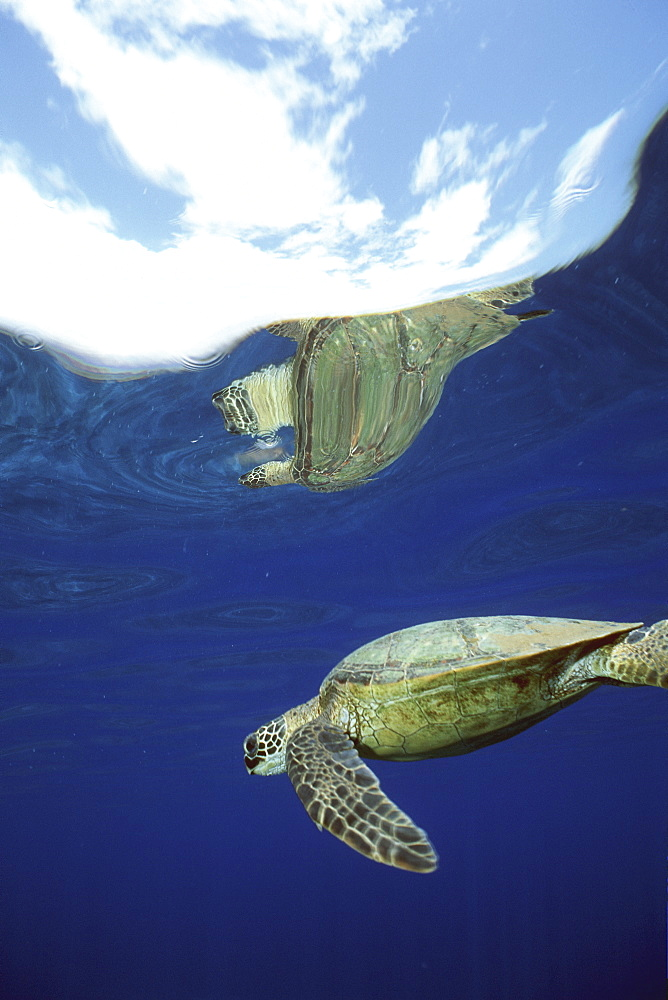 Green Sea Turtle, Chelonia mydas, with reflection of clouds of the coast of Lanai, Hawaii