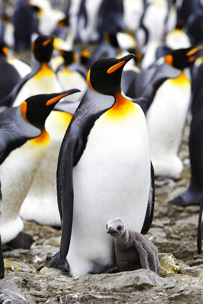 King Penguin (Aptenodytes patagonicus) parent with hungry chick on South Georgia Island, southern Atlantic Ocean.