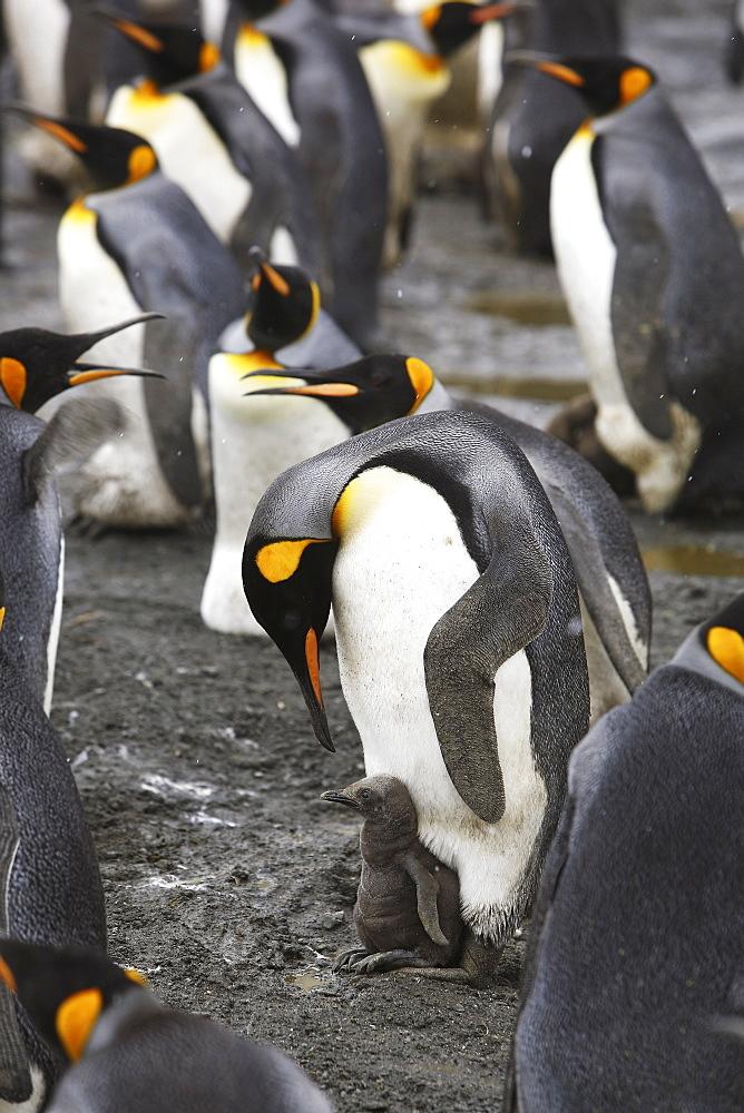 King Penguin (Aptenodytes patagonicus) parent feeding/guarding chick on the beach on South Georgia Island, southern Atlantic Ocean.