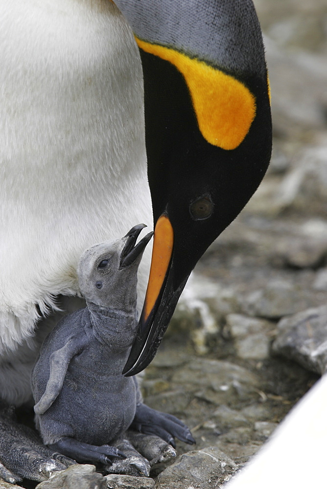 King Penguin (Aptenodytes patagonicus) feeding/guarding chick on South Georgia Island, southern Atlantic Ocean.