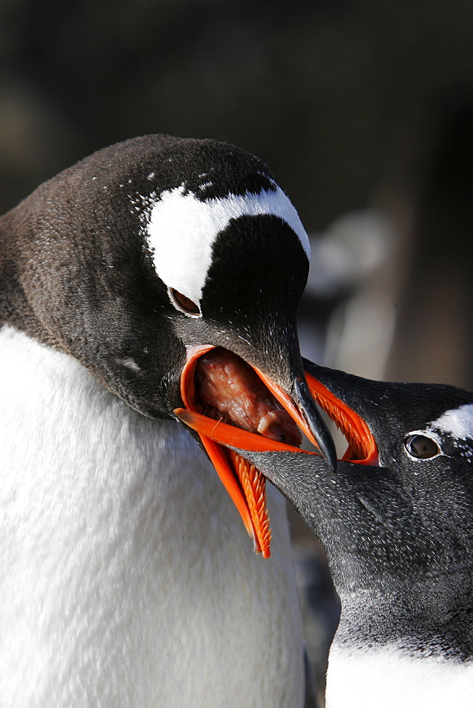 Gentoo Penguin (Pygoscelis papua) chick being fed by parent in Antarctica.
