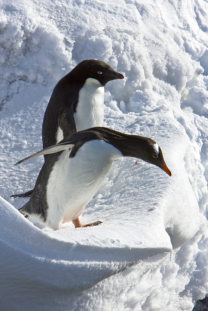 A banded adult Adelie penguin (Pygoscelis adeliae) watches as a gentoo penguin approaches an ice cornice on Barrentos Island in the Aitcho Island Group, South Shetland Islands, Antarctica