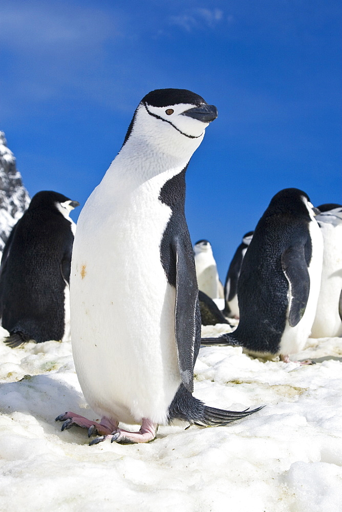 Chinstrap penguin (Pygoscelis antarctica) colony near Point Wild on Elephant Island in the South Shetland Islands. This is where Sir Ernest Shackleton's men stayed for 131 days until rescue on August 30, 1916. There are an estimated 2 million breeding pai