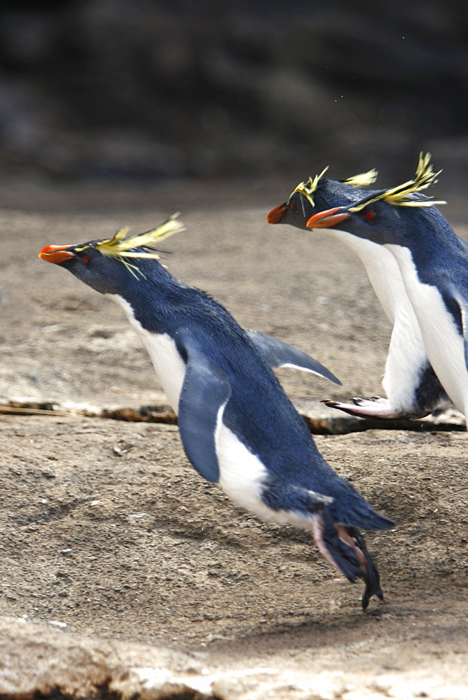 "Adult rockhopper penguins (Eudyptes chrysocome moseleyi) ""hopping"" on Nightingale Island in the Tristan da Cunha Island Group, South Atlantic Ocean. This sub-species of rockhopper penguin is endemic to the Tristan da Cunha Island Group. Rockhopper penguin"